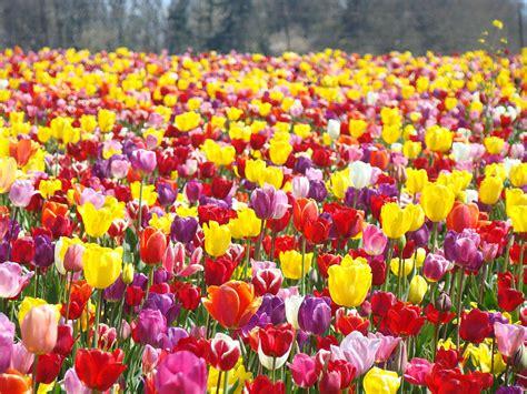 Colorful Duvet Tulip Flower Festival Art Prints Spring Photograph By