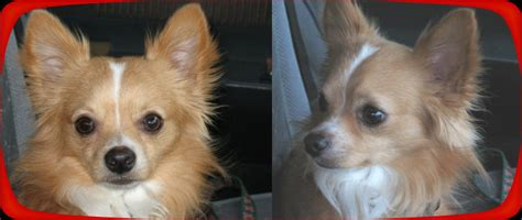 pictures of long haired chihuahua haircuts long hair chihuahua haircuts newhairstylesformen2014 com