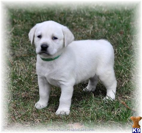 labrador puppies for sale in mn golden labrador puppies for sale in mn