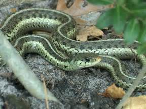 Garter Snake Green Black Common Garter Snake Facts And Pictures Reptile Fact