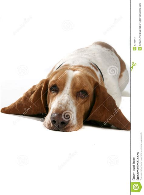 puppy big belly with big ears on his belly stock photos image 6393143