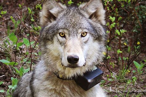 oregon wolves lose endangered species protections takepart