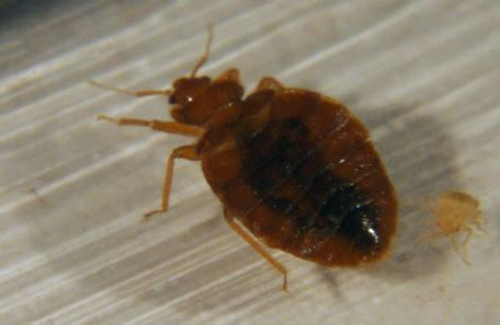what attracts bed bugs what attracts bed bugs 28 images home remedies for bed