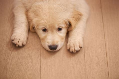 9 in 1 puppy what to about parvovirus parvo in dogs