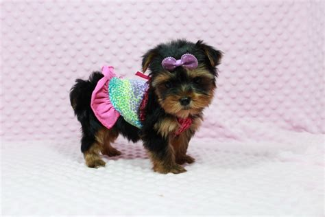 teacup yorkies for sale in las vegas teacup terrier for sale las vegas photo