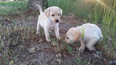 pudelpointer puppies for sale 2017 willow x yellow lab puppies 7 weeks labrador retrievers in emmett idaho