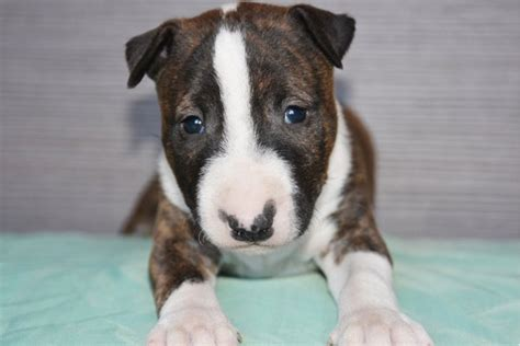 mini pup mini bullterrier puppies breed information puppies for sale