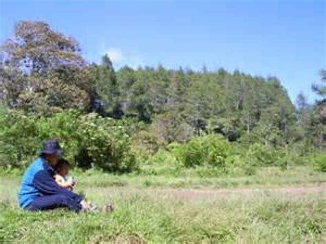 Bibit Bunga Kaliandra bibit pohon kayu