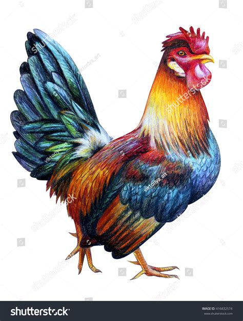 rooster colors rooster color drawing colored dorking stock illustration