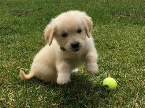 golden retriever puppies for sale in southern illinois mini dachshund puppies illinois breeds picture