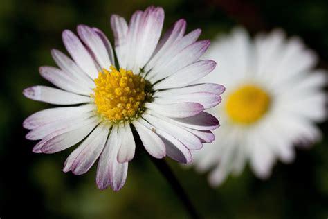 foto margherita fiore immagini natura fiorire fiore petalo verde