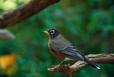 michigan s state bird is the american robin birds of a