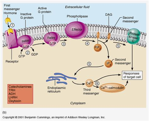 g protein activation steps apii notes home page