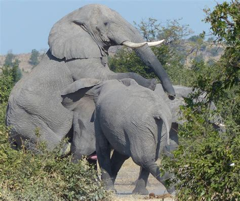 mating elephants get busy on safari africa geographic