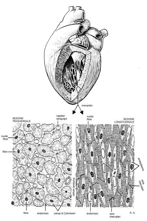 lunghezza vasi sanguigni app circolatorio