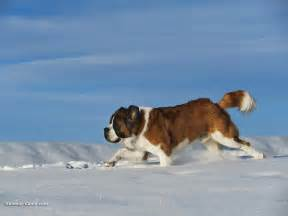 Lil dog whisperer from hero to beethoven the saint bernard