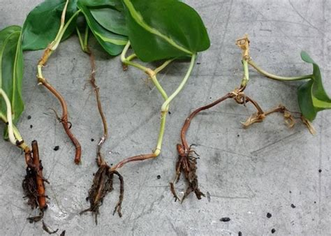 Bibit Tanaman Philo Jari Variegata 3 tips cara menanam dan merawat tanaman hias philodendron