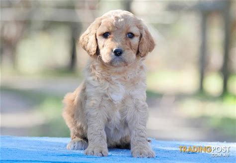 golden retriever x poodle puppies for sale standard groodle puppies golden retriever x poodle dna health tested for sale
