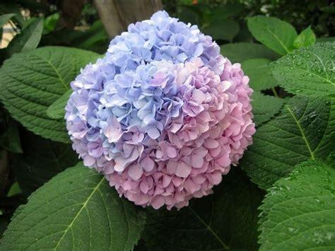 come curare un giardino come curare un ortensia piante da giardino