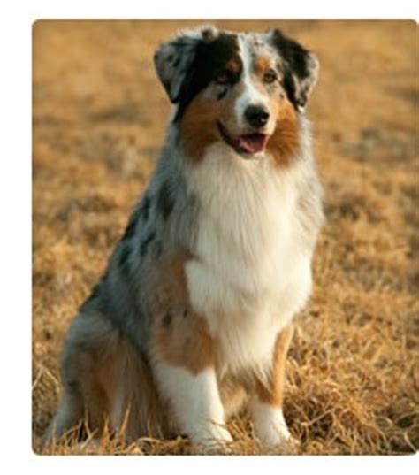 australian shepherd dogs 101 the best breed for your health and personality webmd slideshow
