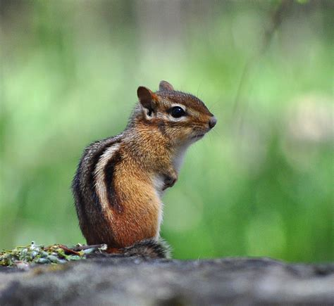 a chipmunk file eastern chipmunk ontario canada jpg wikimedia commons