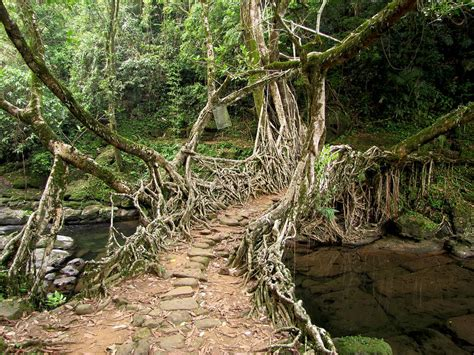 living bridges the living root bridges of india kuriositas