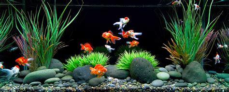 akuarium ikan mas koki design akuarium unik tips dan trik merawat ikan koki di akuarium