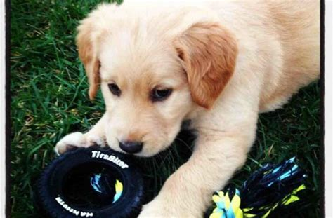 show me a picture of a puppy tag for show me a picture of a litle pups