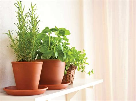 fresh growing herbs indoors grow herb companion