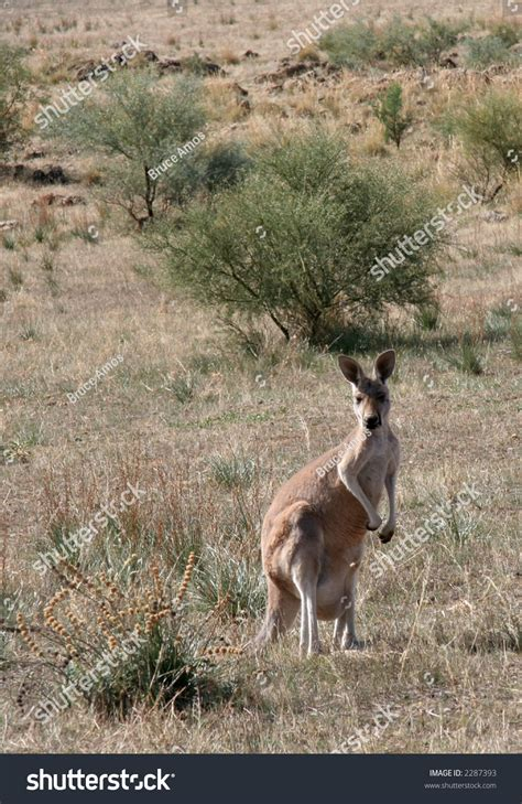 Email Address Finder Australia Kangaroo In The Australian Bush Stock Photo 2287393