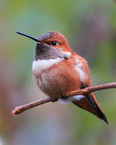rufous hummingbird birds pinterest