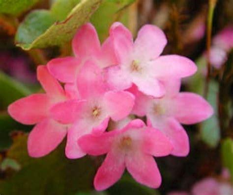 what is the state of massachusetts massachusetts state flower tailing arbutus leg massachusetts