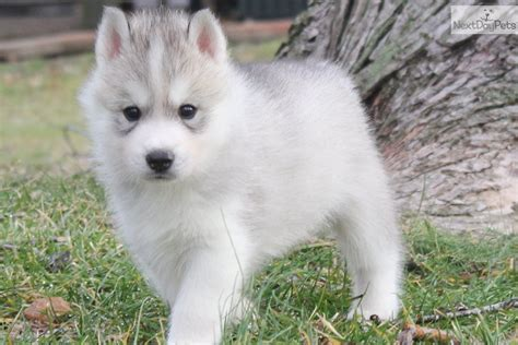 pomsky puppies for sale in indiana pomsky puppies for sale indianapolis pomsky picture breeds picture