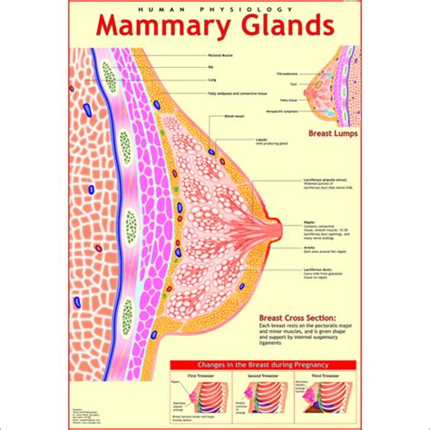 How To Detox Mammary Glands Before Conception by Human Anatomy Charts Exporter Manufacturer Distributor