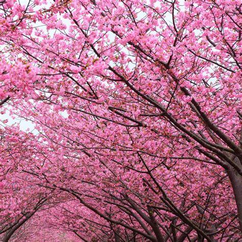 cherry blossom tree facts cherry blossom tree on cherry blossom trivia facts
