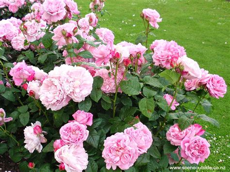 about garden design rosa mary rose