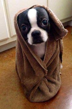 boston terrier puppies arkansas boston terriers bulldogs pugs on terriers boston terr