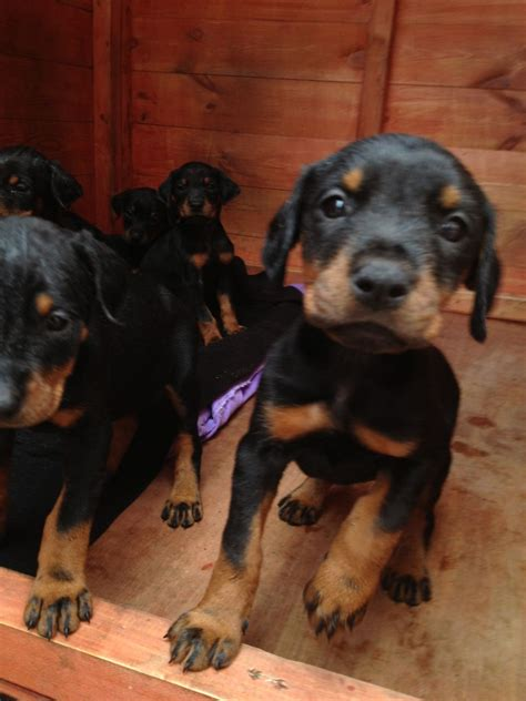 doberman puppies for sale beautiful doberman pedigree puppies for sale central pets4homes