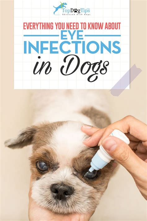 pug eye infection 25 best ideas about eye infections on eye cyst home health remedies and
