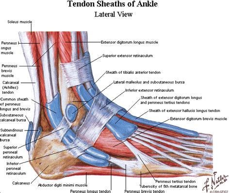 foot diagnosis diagram ligaments of the foot tendons in the foot wedding