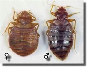 les insectes rants puces punaises fourmis blattes