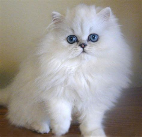 beautiful persian cat pictures
