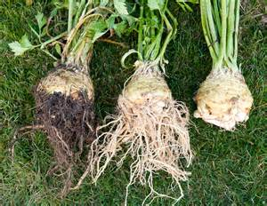 is celery a root vegetable celery root celeriac island kitchen gardens
