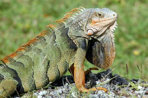 imagenes de animales vertebrados reptiles reptiles