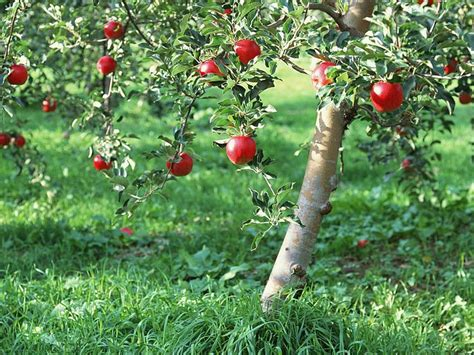 apple tree with fruits apples on tree apple tree photos 13 wallcoo net