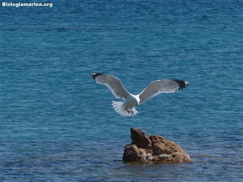 il gabbiano reale gabbiano reale biologia marina mediterraneo