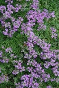 flowering ground cover memes