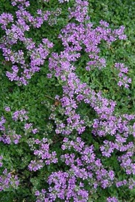 elfin thyme fragrant ground cover with small purple flowers for my backyard juxtapost