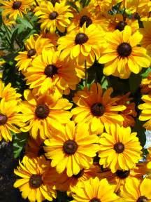 Pennsylvania Flowers - rudbeckia tiger eye garden housecalls