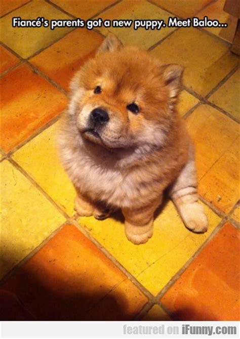 s got a puppy fiance s parents got a new puppy meet baloo ifunny